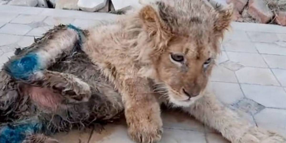 Fotógrafo le quiebra dos patas a cachorro de león para sacar selfies