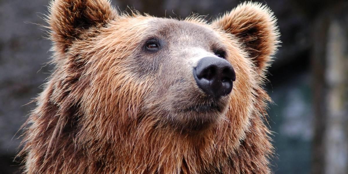 VÍDEO: Urso selvagem persegue cães no jardim de casa; veja como os bichinhos escaparam da morte por pouco