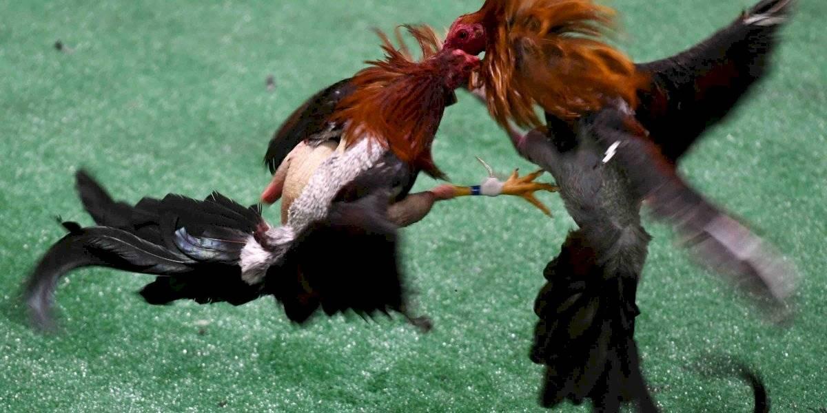 Gobierno se une como amigo de la corte en caso sobre peleas de gallos