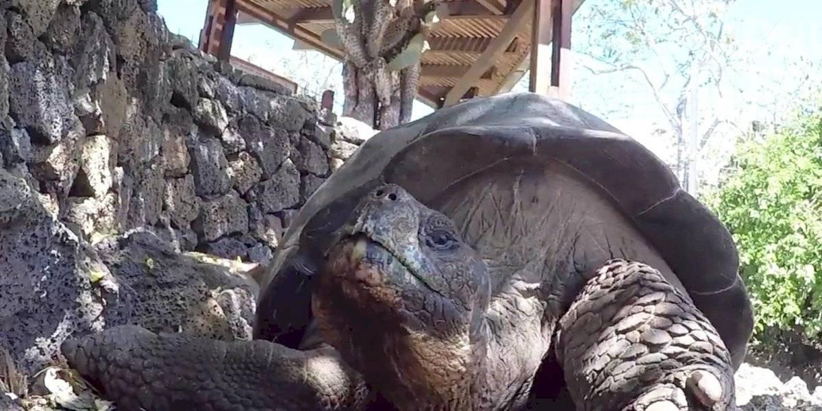Tortuga semental de Galápagos vuelve a casa tras salvar a su especie
