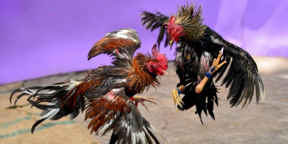 Supremo de EEUU mantiene en vigor ley prohíbe peleas de gallos