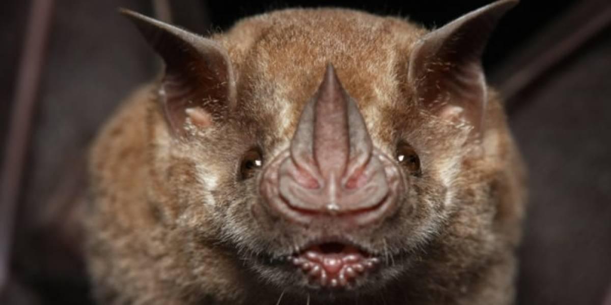 El coronavirus sería mil veces más eficaz para infectar a humanos que su pariente cercano encontrado en murciélagos