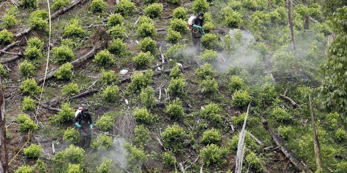 Los cultivos de coca en Colombia se redujeron, según el más reciente informe