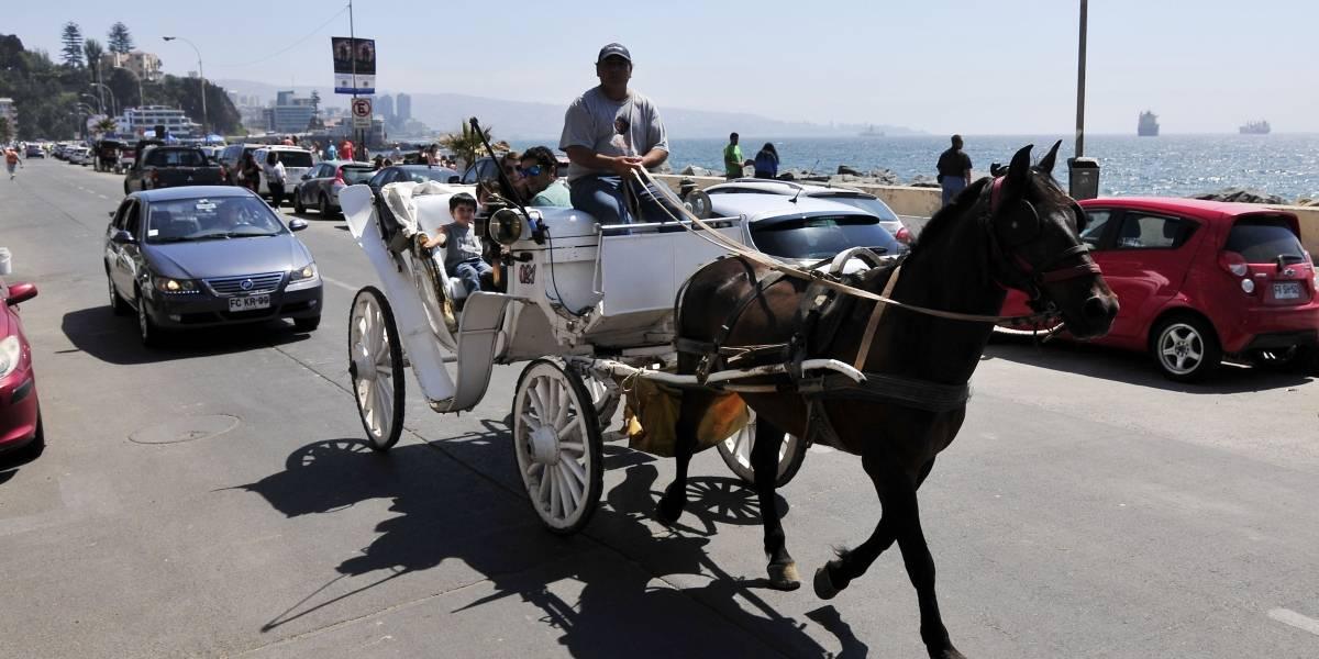 """Uno de los caballos de las """"victorias"""" de Viña del Mar terminó en una carnicería: los demás están encerrados y sin pasto"""