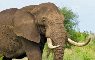 animales-predecir-desastres-elefante