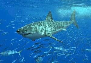 animales-predecir-desastres-tiburon