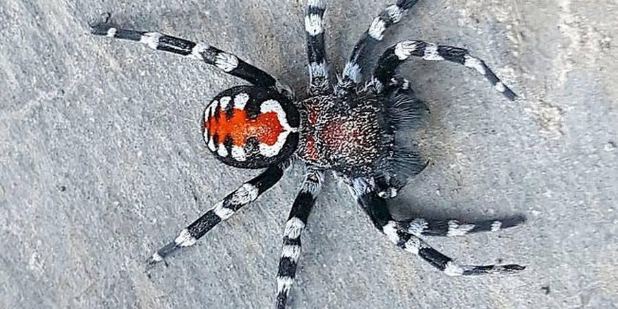 bautizan a nueva especie de araña en honor a Joaquin Phoenix como el Guasón
