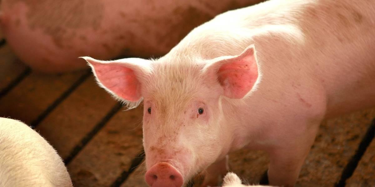 Basta, 2020: Alertan sobre nuevo virus en China que pasa de los cerdos a los humanos