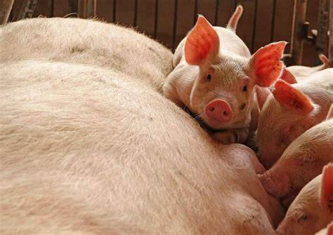 El cerdo está generando un nuevo virus en China.