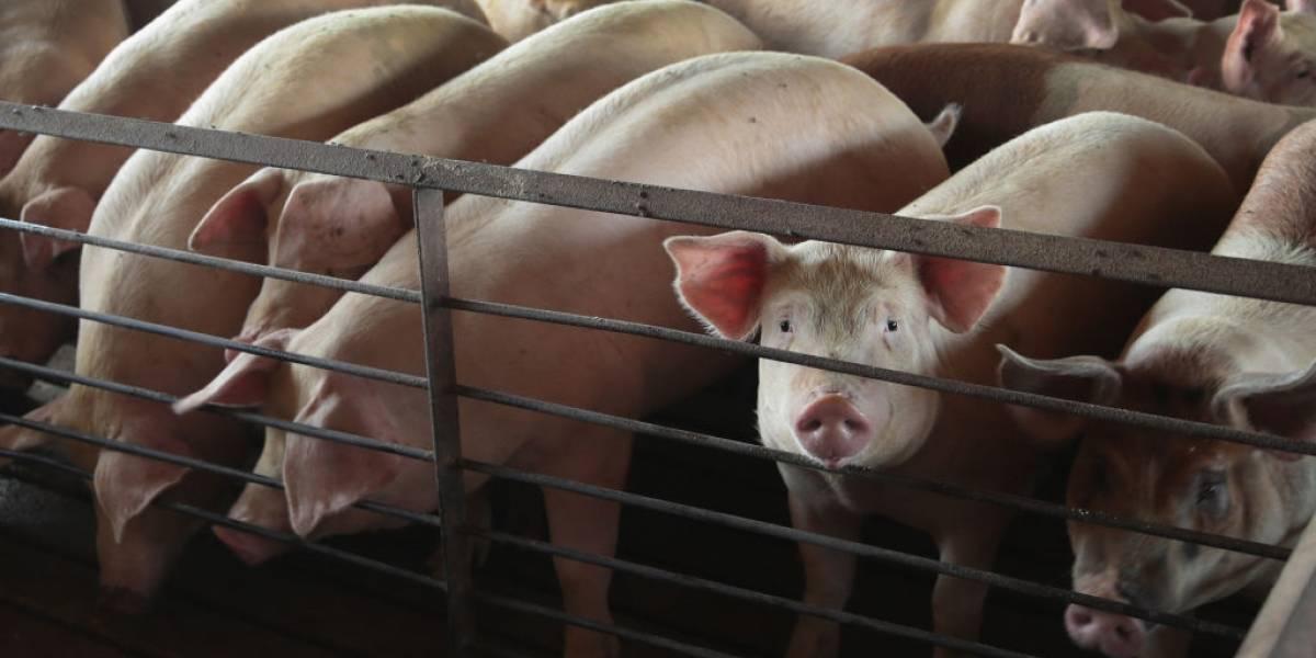 China: identifican nueva cepa de gripe transportada por cerdos con potencial de pandemia