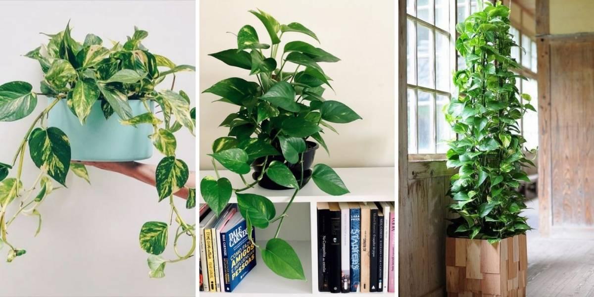 Planta jiboia: como cuidar e usar na decoração