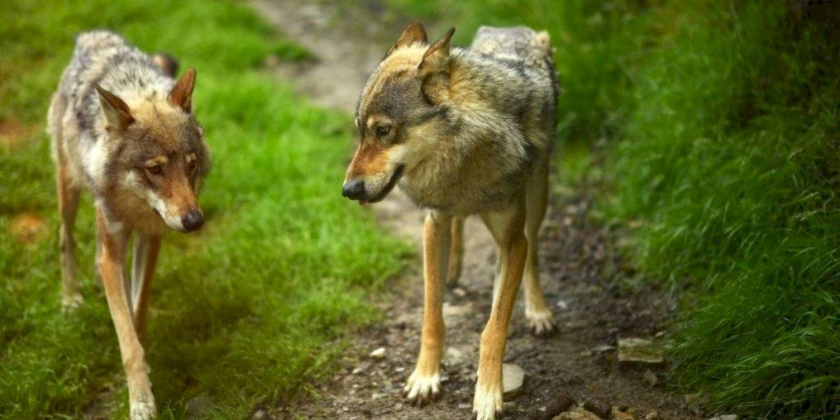 "Fuerte debate por ""bombas de cianuro"" que Estados Unidos usa para matar animales salvajes"