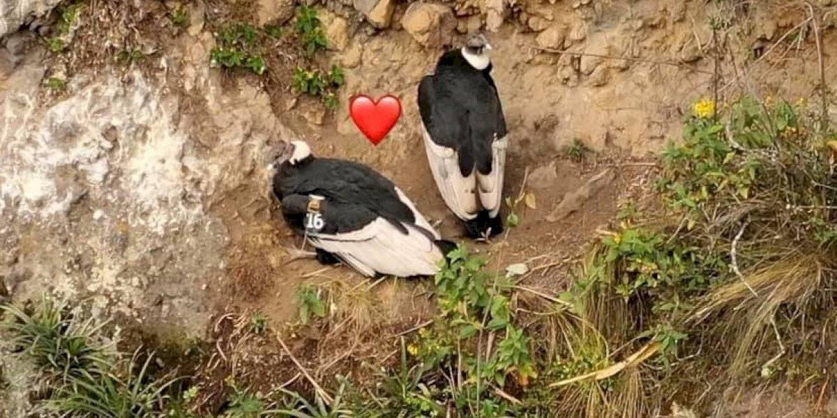 Se viraliza video donde se observa muestra de amor entre una pareja de cóndores