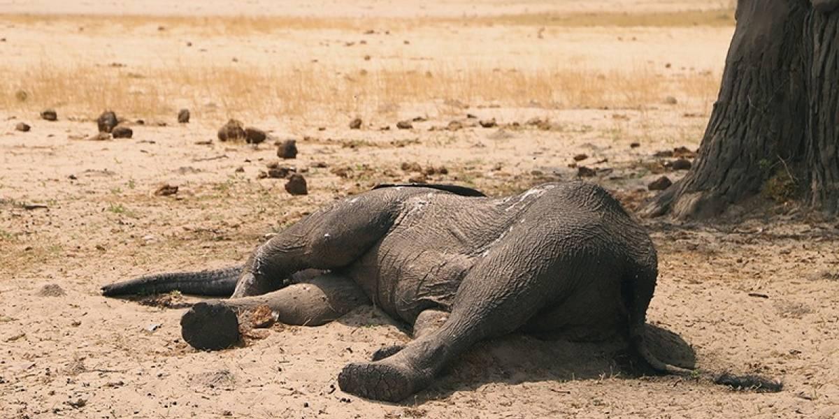 Cientos de elefantes fueron encontrados muertos sin una causa aparente