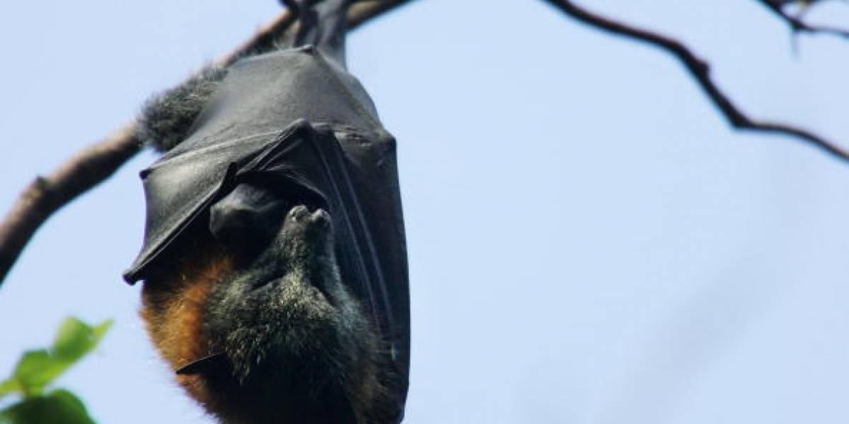 """Se viraliza foto de un murciélago de """"tamaño humano"""" hallado en Filipinas"""