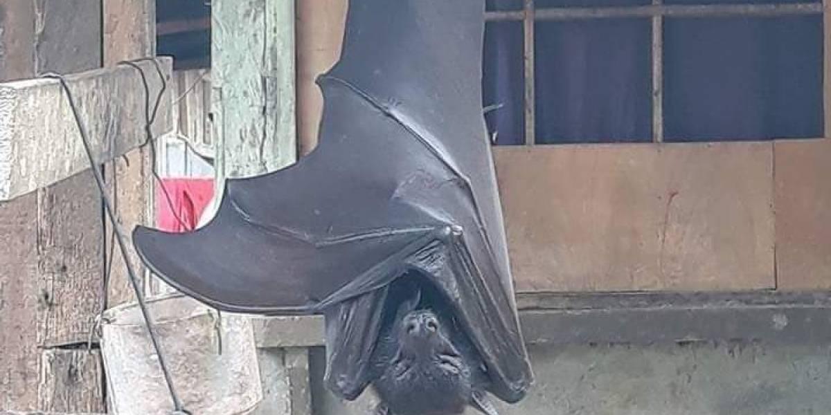 Impacto por murciélago viral: ¿Es del tamaño de una persona adulta?