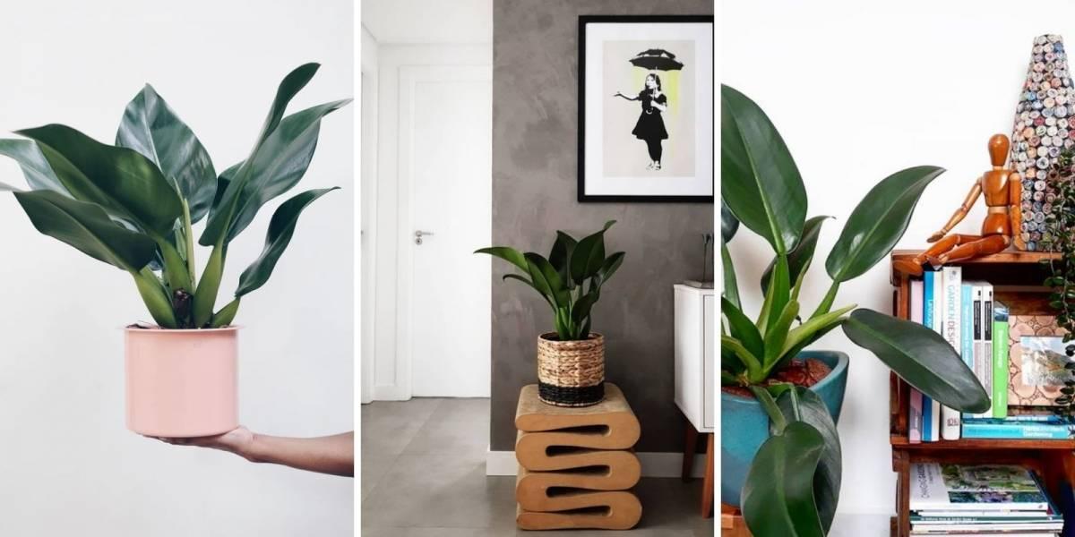Pacová: como cuidar e usar na decoração de sua casa