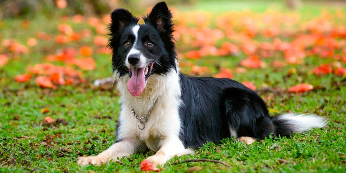 Saiba quais as raças de cães mais inteligentes