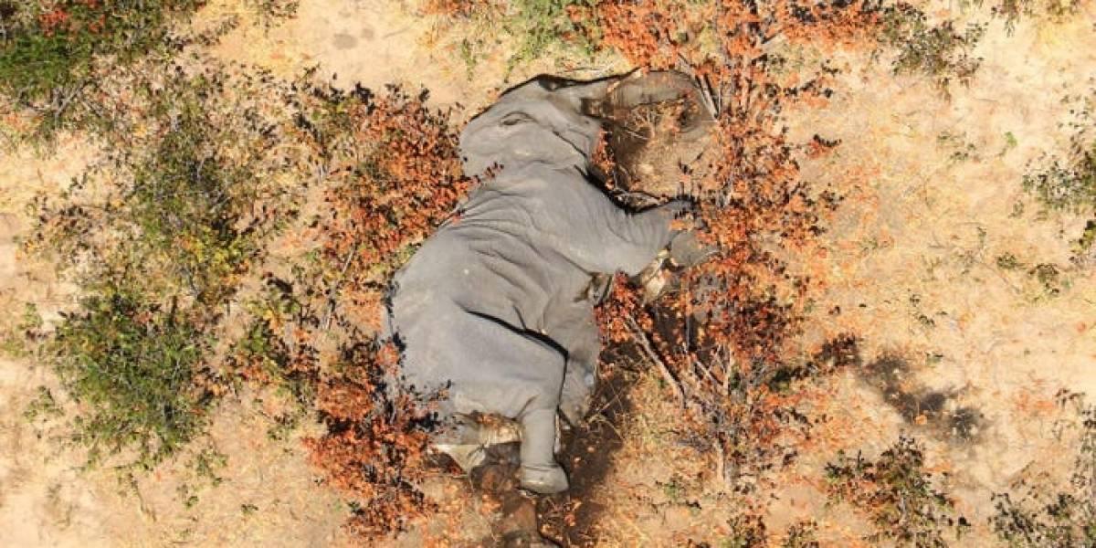 Misterio en Botswana por la repentina muerte de más de 350 elefantes desde principios de mayo