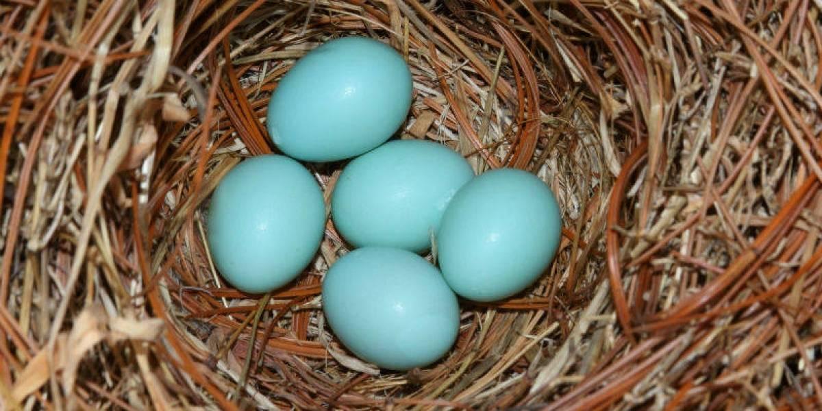 ¿Huevos azules en México? A diferencia de los chilenos, en ese país revelarían una terrible realidad de las gallinas