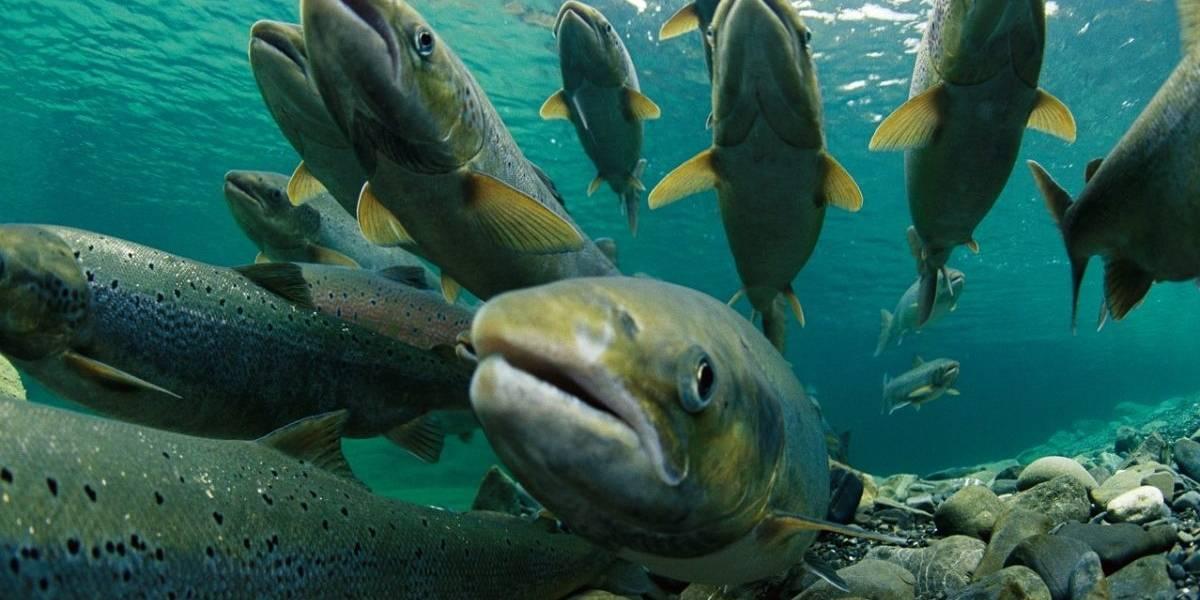 A una semana del mayor escape de salmones en 10 años, solo han capturado al 1%: Greenpeace interpondrá una denuncia