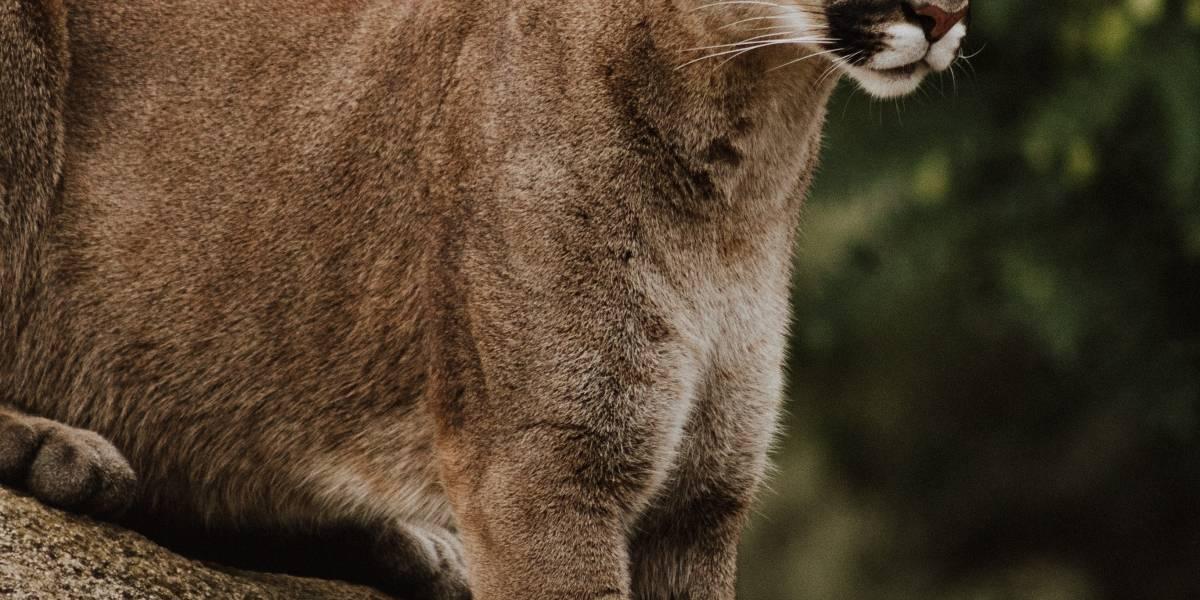 VÍDEO: Puma é flagrado por câmera de segurança no portão de fazenda no Rio de Janeiro