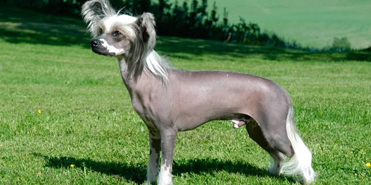 Conheça 5 raças de cães que não tem pelo