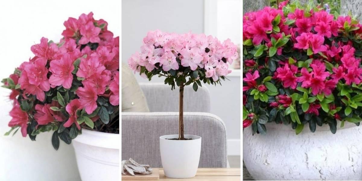 Azaleia: como cuidar e usar na decoração de sua casa