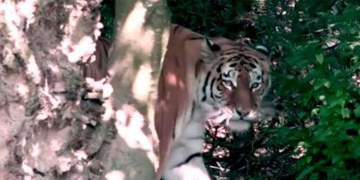 Tigre siberiano mata cuidadora de zoológico na frente de visitantes