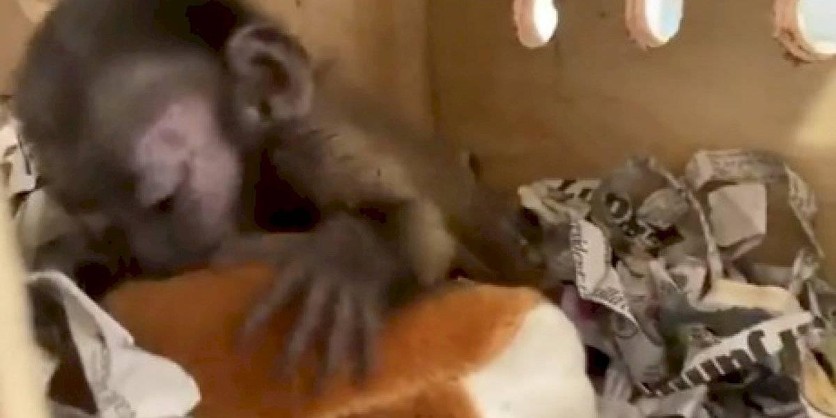México: rescatan a mono que fue enviado en encomienda