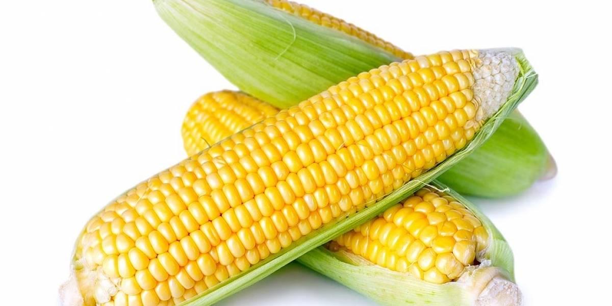 Ciencia: diseñaron maíz especial que reduce considerablemente la inflamación intestinal