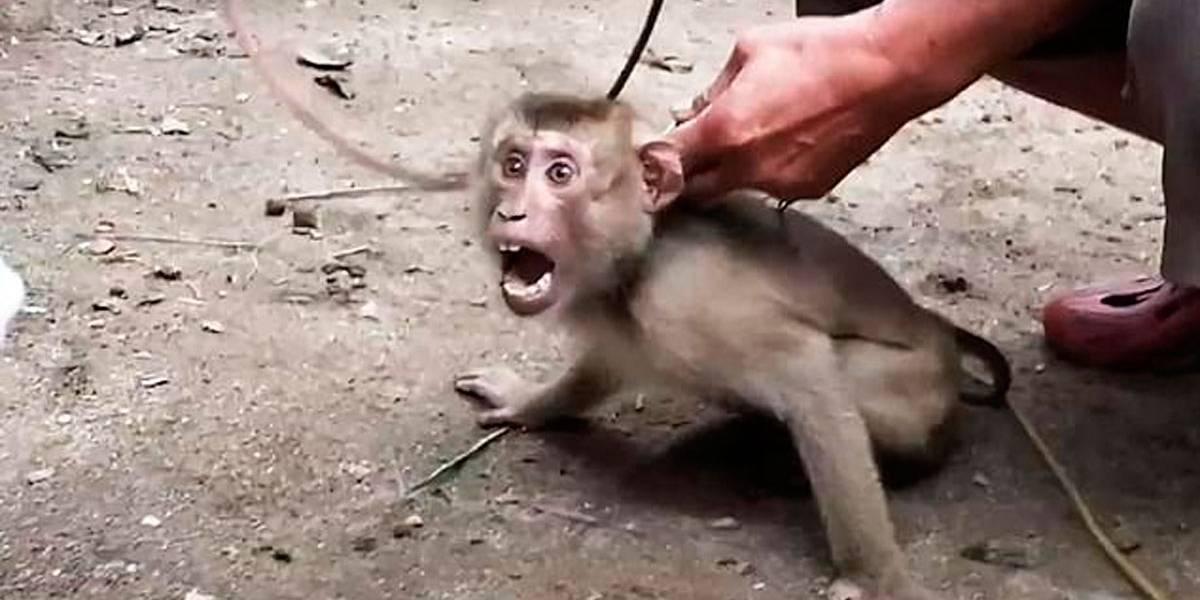 Filhotes de macacos são escravizados na Tailândia para colherem coco