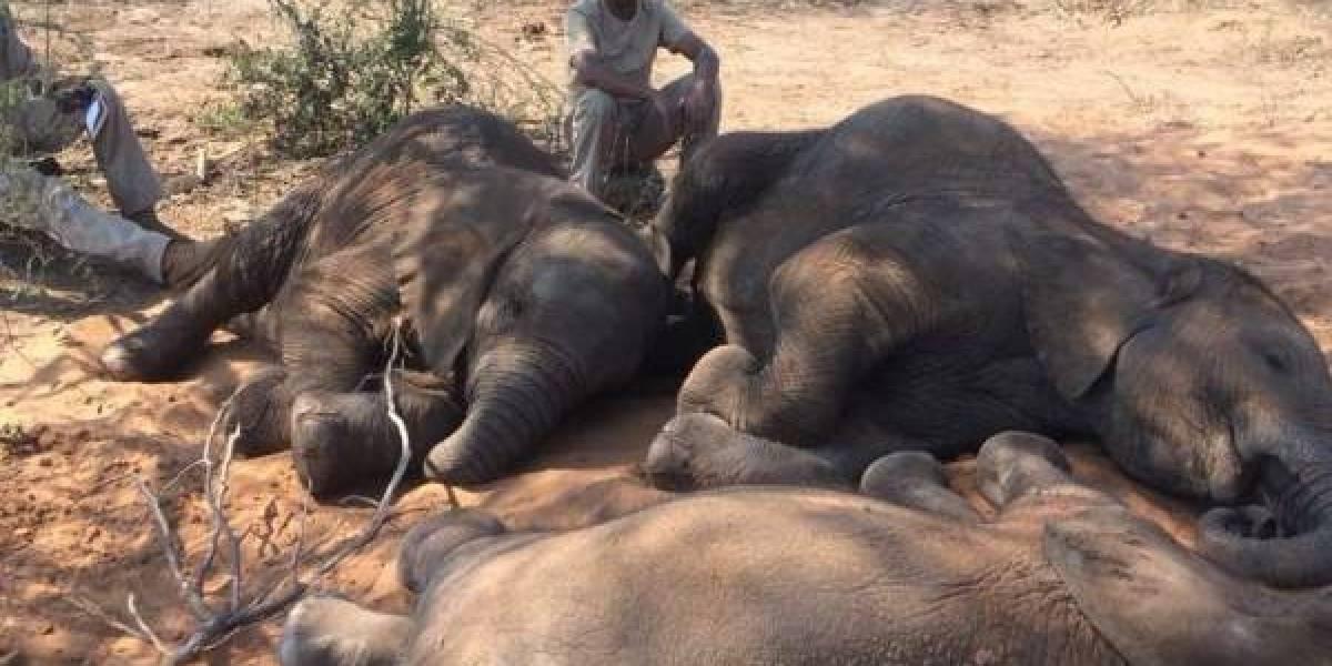 Revelan la posible causa de la muerte de cientos de elefantes en Botsuana