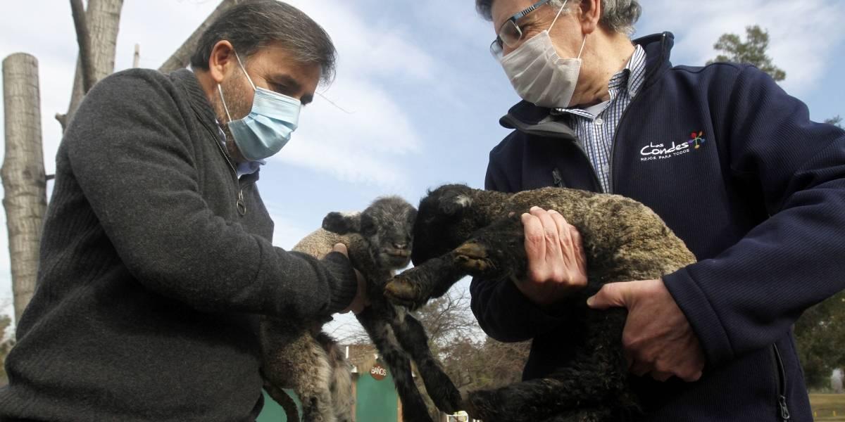 Vuelven a casa: 300 ovejas cuidadas por Las Condes regresan a Colina tras las lluvias