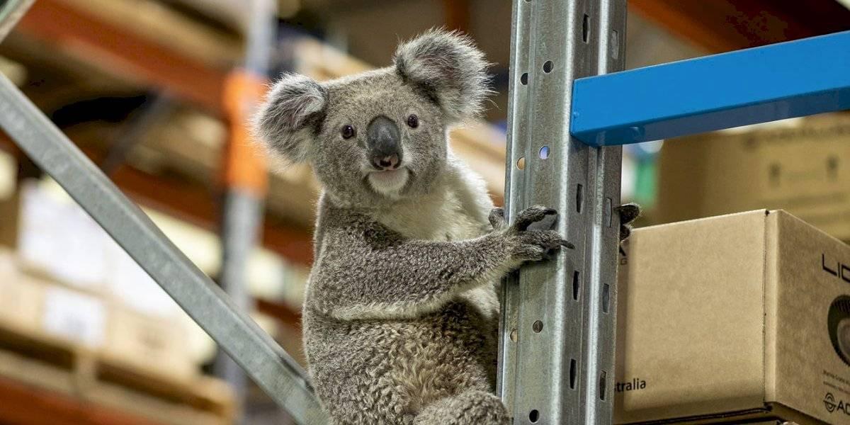 Koala invasor inspiró un nuevo slogan para una empresa australiana