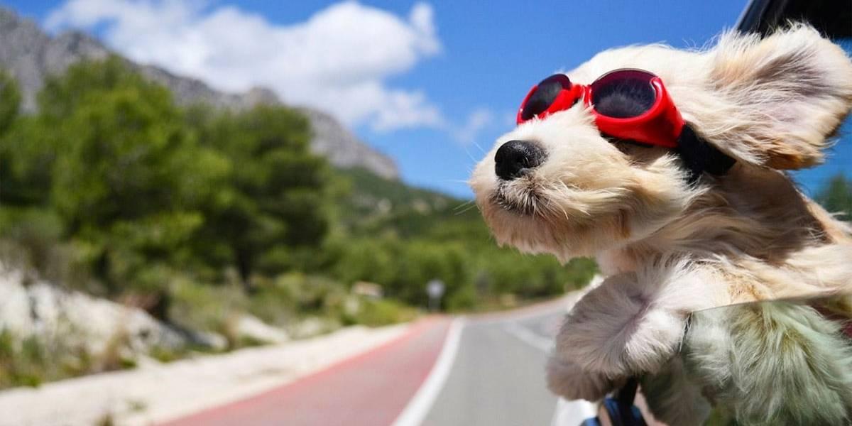 Seu cãozinho gosta de colocar a cara para fora da janela do carro? Cuidado