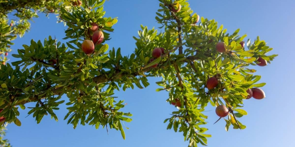 Óleo de argan: conheça todos os seus benefícios
