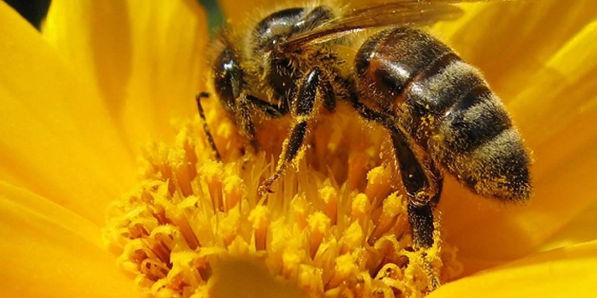 Pandemia animal: las abejas podrían sufrir un brote de infección provocado por un hongo que transmiten las flores