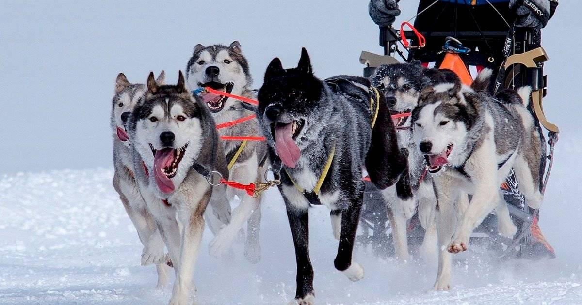 cão esquimó canadense