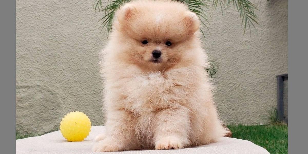 5 raças de cães mais caras do mundo