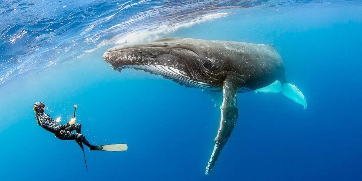 Científicos registraron por primera vez en imágenes el ataque de un tiburón blanco sobre una ballena jorobada
