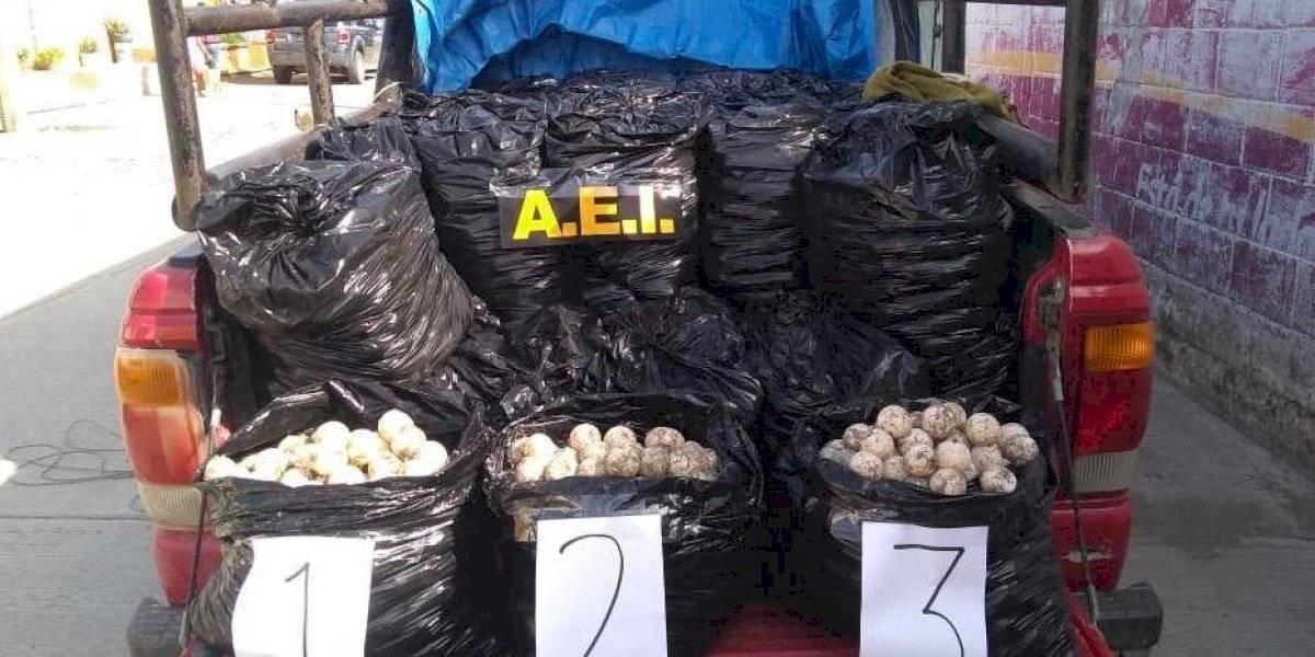 Saquean 25 mil huevos de tortuga en playas de Oaxaca