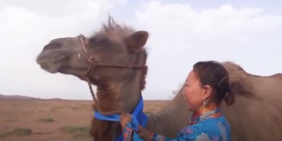 Más de 100 kilómetros: camello atravesó un desierto para regresar con sus antiguos dueños