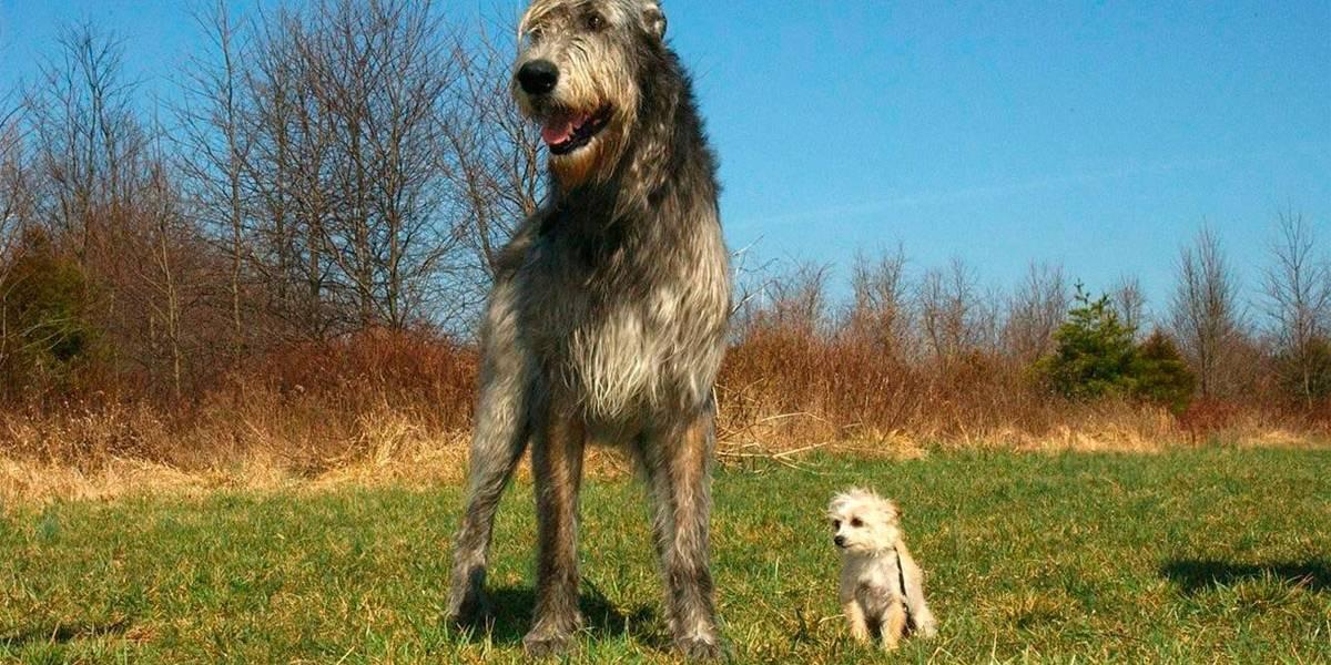 5 raças de cães gigantes