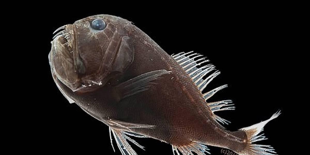 Los peces que se habitan en lo más profundo del mar desarrollaron un camuflaje que los hace prácticamente invisible