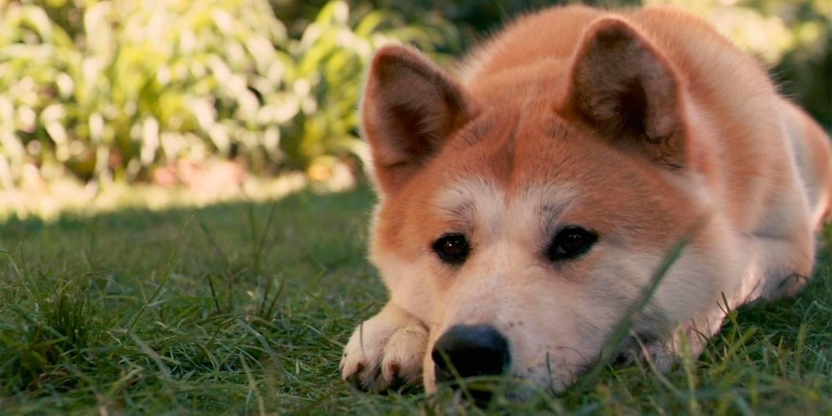 Conheça 5 raças de cães de origem japonesa