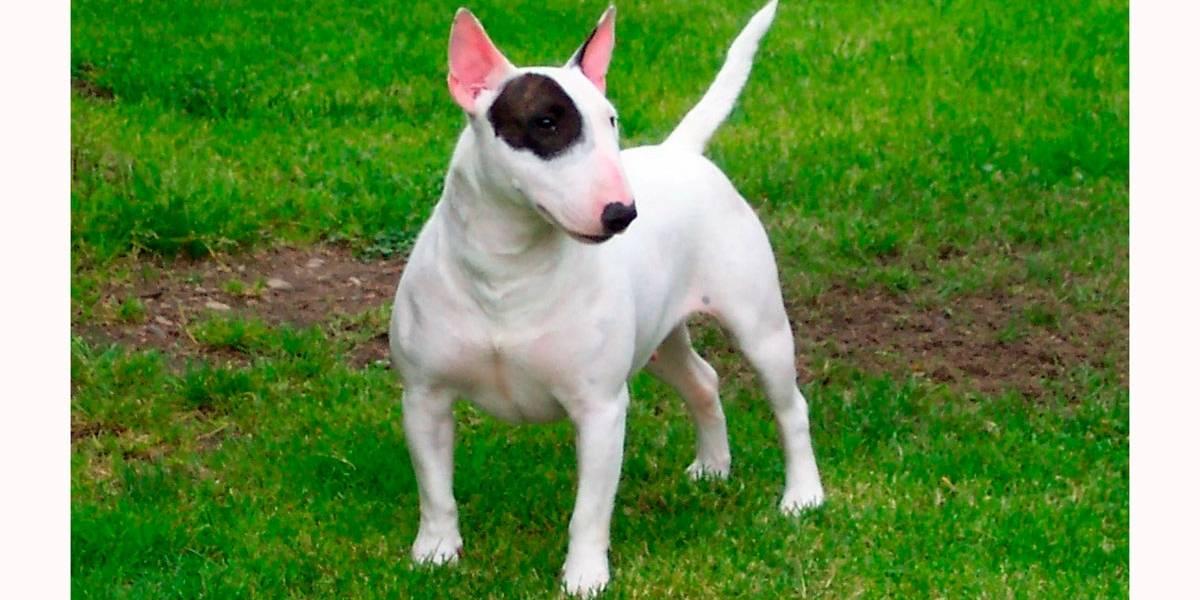 4 tipos de cães da raça pitbull