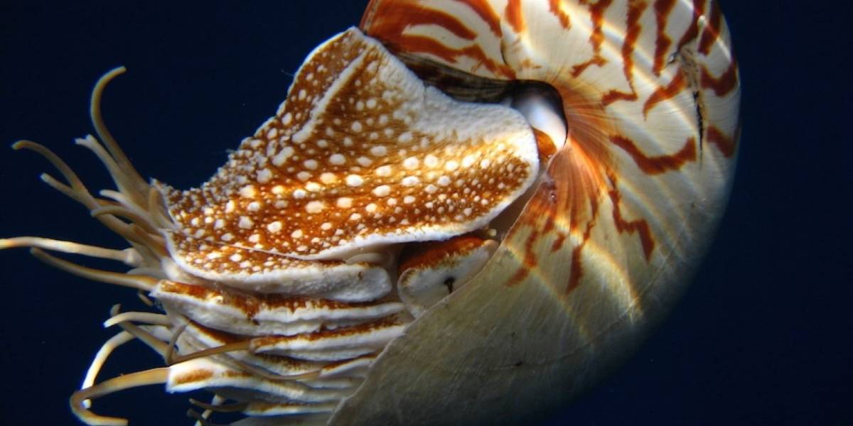 Conoce al Nautilus: el animal marino nocturno, con memoria y que además sobrevivió a cinco extinciones