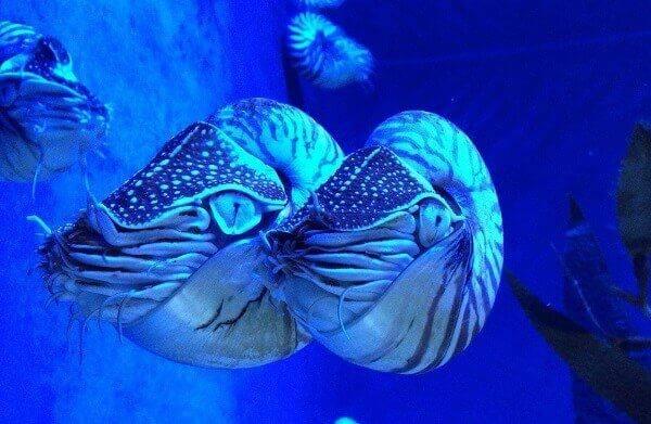 Nautilus mar