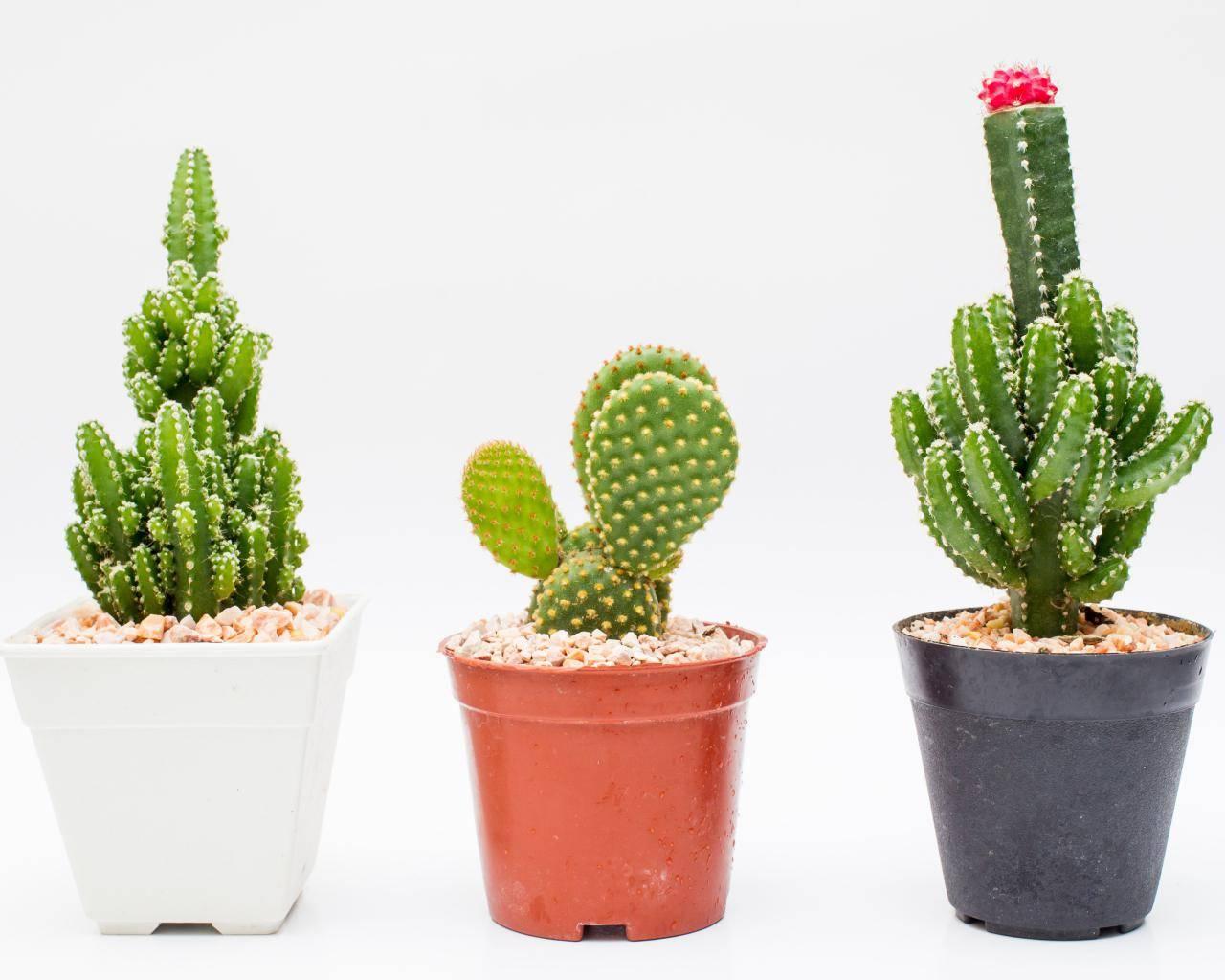 Cactus para la oficina